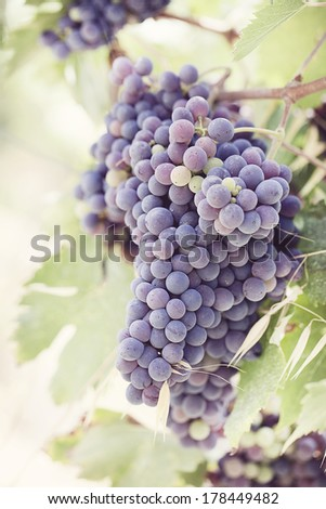 Grapes on the vine - Tuscany, Italy - stock photo