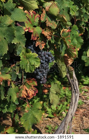 Grapes on vine. - stock photo