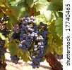 Grapes ready for harvest in a Napa vineyard - stock photo