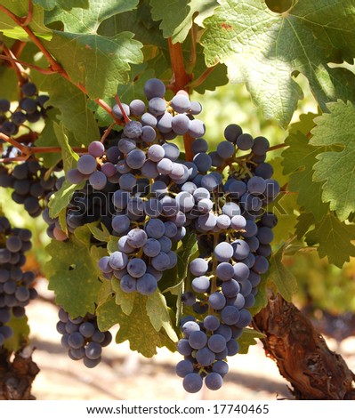Grapes ready for harvest in a Napa vineyard