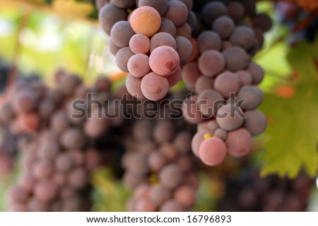 grapes ready to be picked - stock photo