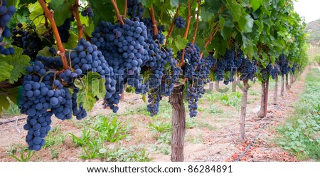 Grapes ready to harvest made by a vintner in an established winery - stock photo