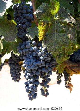 Grapes ripening on the vine Napa Valley California version 2 - stock photo