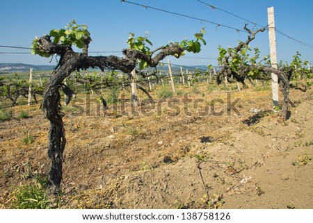 Grapes vines in vineyard during spring. Crimea, Ukraine - stock photo