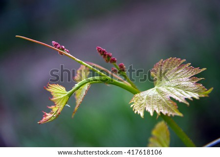 Grapevine closeup agriculture of the Republic of Moldova - stock photo