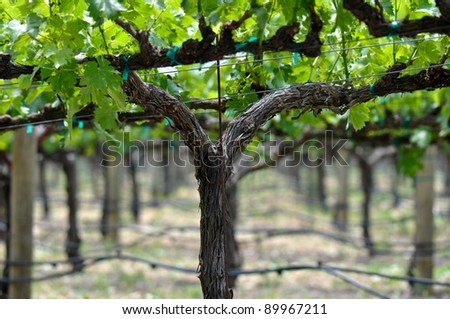 Grapevine in the Spring - stock photo