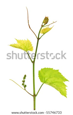grapevine isolated on white background - stock photo