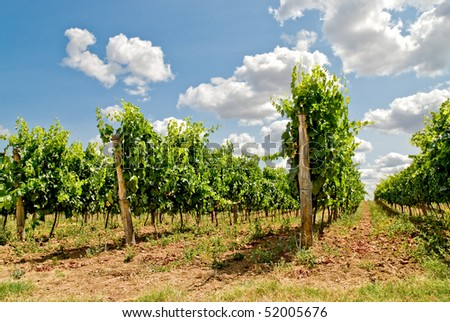 grapevine rows - stock photo