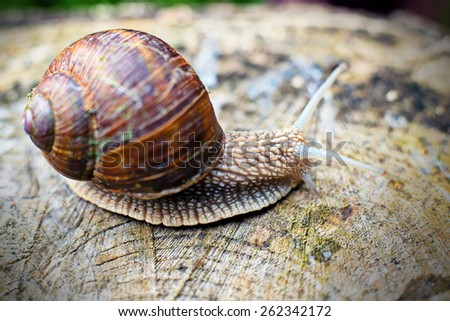 grapevine snail in front of nature background - stock photo