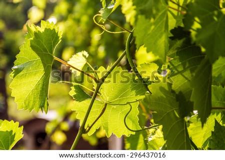 Grapevine, Ukraine - stock photo