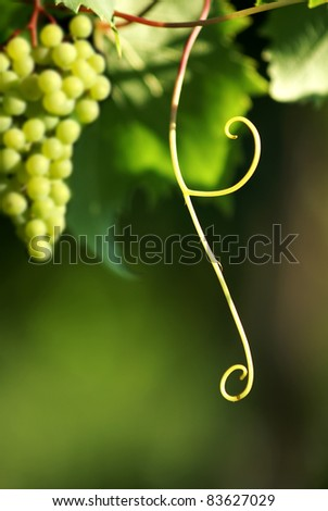 grapevine with grape cluster - stock photo
