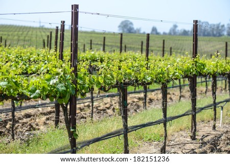 Grapevines in Spring - stock photo