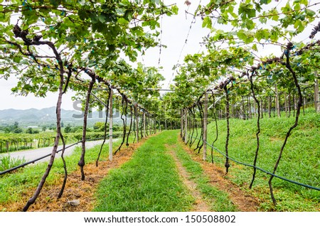 Grapevines in valley  - stock photo