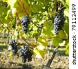 grapevines in vineyard (frankovka), Czech Republic - stock photo