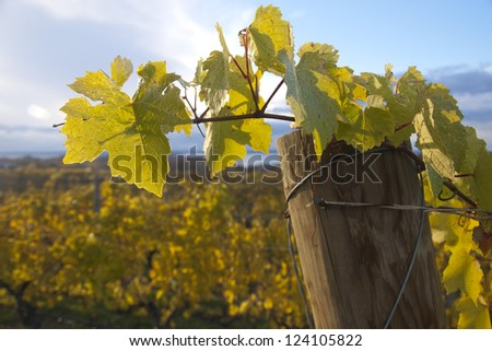 Grapevines on vine pole in the autumn - stock photo