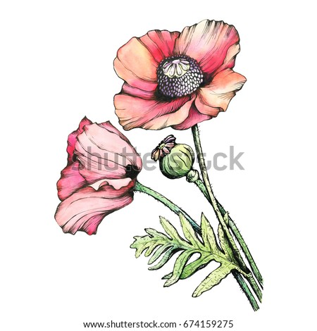 Graphic branch red poppies flowers bud stock illustration 674159275 graphic the branch red poppies flowers with a bud papaver somniferum the opium poppy mightylinksfo