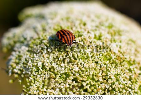 Graphosoma lineatum, Javea, Spain. - stock photo