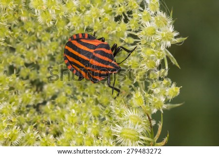 Graphosoma lineatum, Shield bug from Lower Saxony, Germany, Europe - stock photo