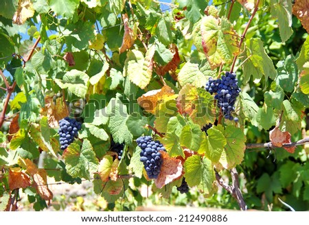Grappes on a vineyard row  - stock photo