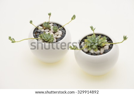 Graptopetalum Macdougallii, a succulent plant under Crassulaceace family.  The two succulents in white round ceramic pots. Glowing base and white background. - stock photo