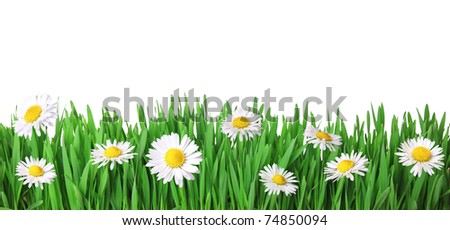Grass and daisies isolated on white - stock photo