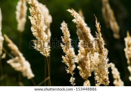 Grass dry on dark background - stock photo