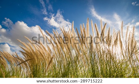 Grass flower and blue sky background, backlit style