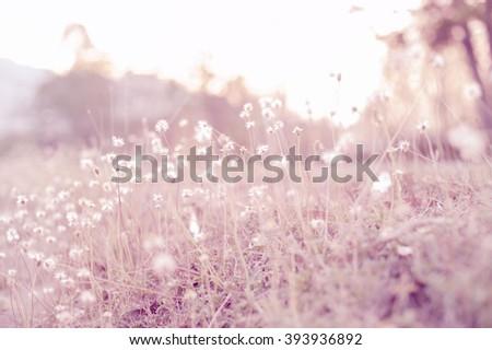 grass flower blurred natural background. vintage summer flowers on sunset,  - stock photo