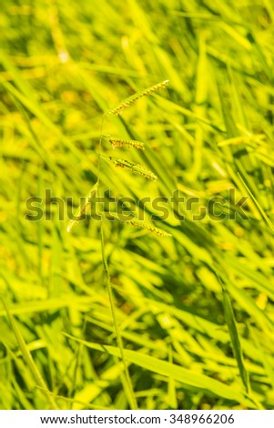 Grass flower in national park, Thailand. - stock photo