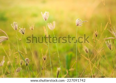 Grass flower on green background,naturally refreshing