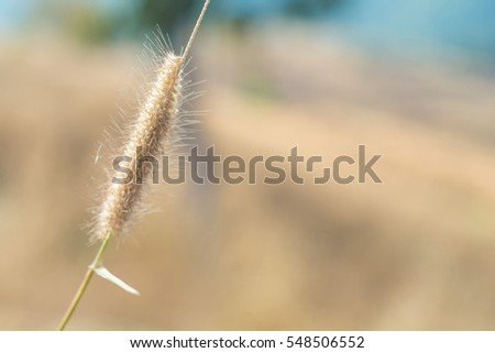Grass flowers in the morning with soft focus filter
