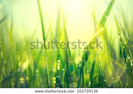 Grass. Fresh green spring grass with dew drops closeup. Sun. Soft Focus. Abstract Nature Background  - stock photo