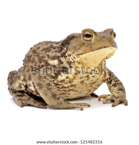 Grass Frog Close-Up Isolated on White Background - stock photo