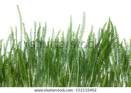 grass growing on the field, isolated on white background