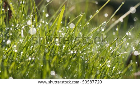 Grass in morning with dew