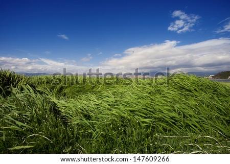 grass land under blue sky,dali,china - stock photo