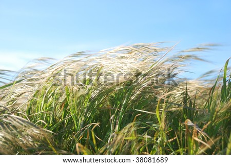 Grass moving by the wind on a sunny day.