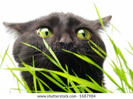 Grass not harms!?! ..for Black Cats. - stock photo