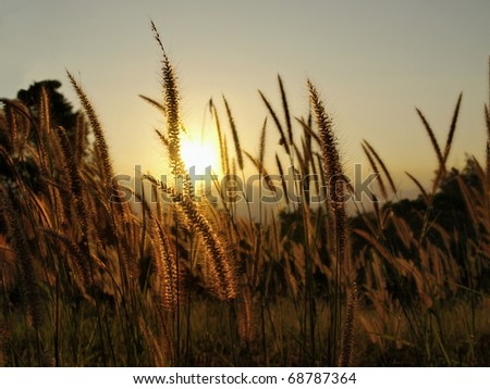 Grass Plumes At Sunset - stock photo