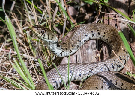 Grass Snake basking in the sun full profile - stock photo