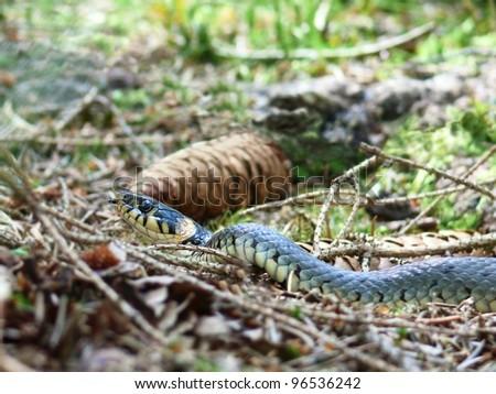 Grass Snake, Natrix natrix - stock photo