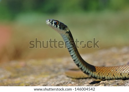 Grass Snake (Natrix natrix) head raising defensiveness