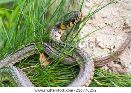 Grass snake (Natrix natrix) in Hungary - stock photo