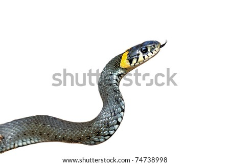 Grass-snake on a white background, close-up. Isolated image - stock photo