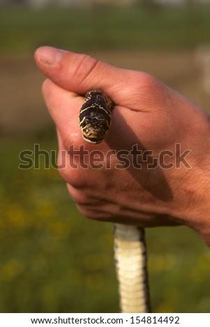 grass snake reptile - stock photo