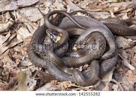 Grass snakes in the mating season. - stock photo