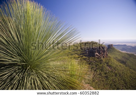 Grass Tree (xanthorrhoea or black boy) shows its sharp, pointy spikes