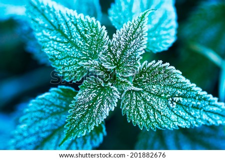 grass under hoar frost - nettle - stock photo