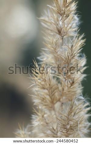 Grass wisp macro defocused - stock photo