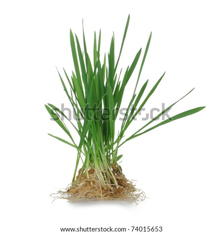 Grass with roots. It is isolated on a white background - stock photo